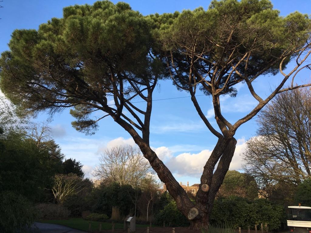 一颗有故事的松树