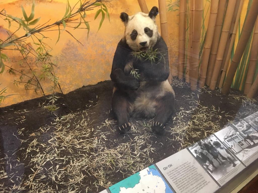 大熊猫chi-chi几个月大的时候(1957)在四川被捕,后来辗转到了伦敦动物园,直到1972年在这里死去