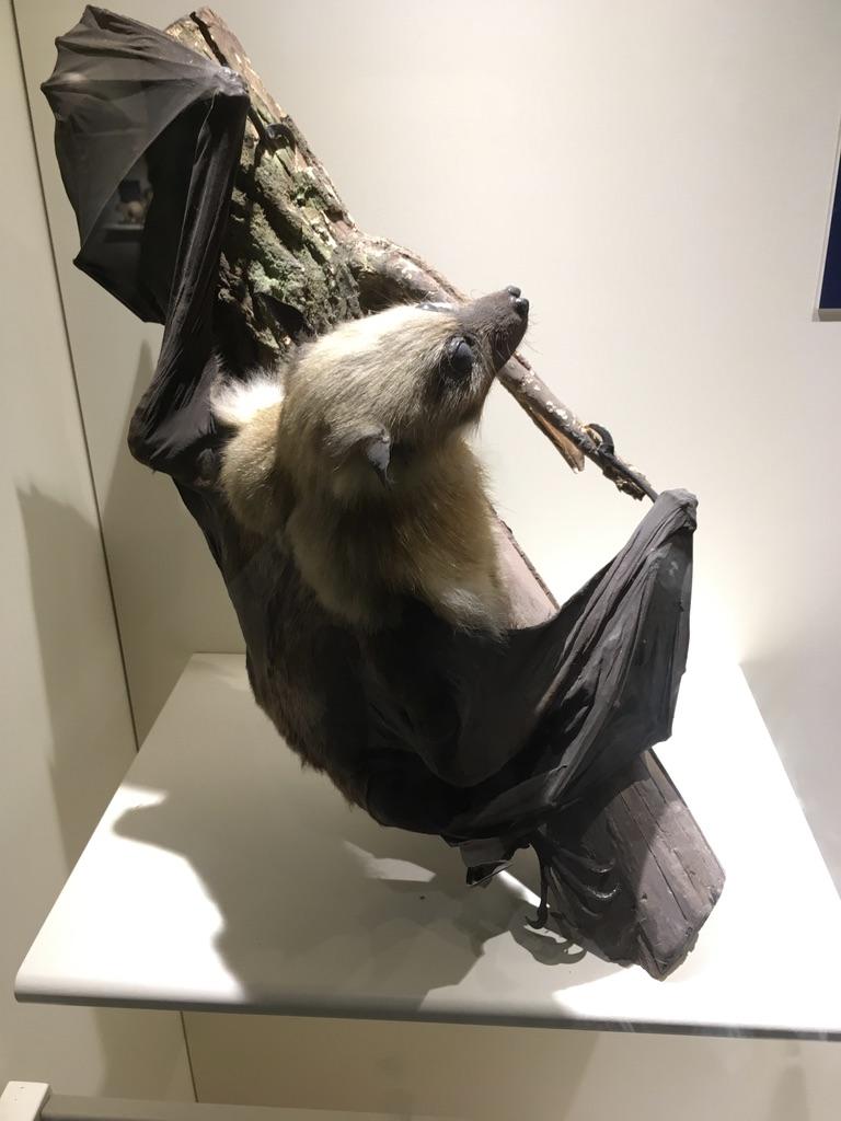一只蝙蝠的标本