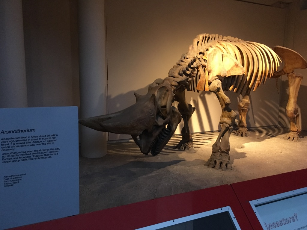 3500万年前生活在非洲的Arsinoitherium,有点像现在的犀牛,但是这货有两个角