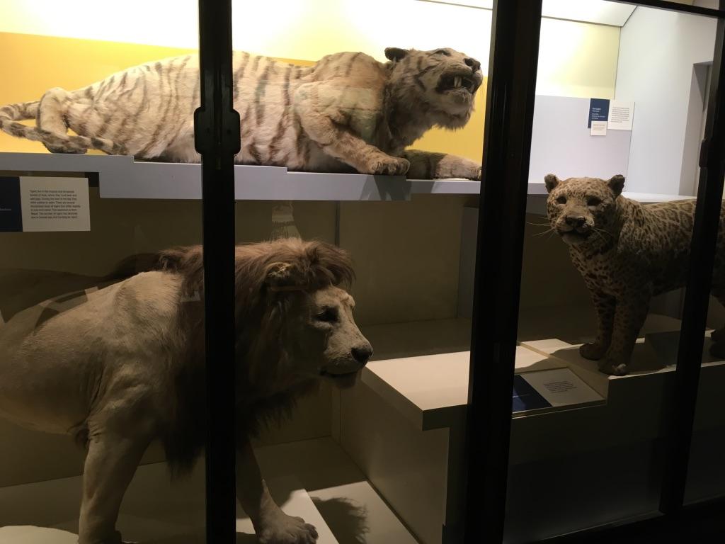 哺乳动物馆展出的狮子、老虎、猎豹三巨头的标本